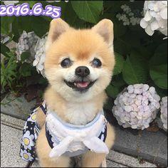 笑顔でおはようござりまする 幸せな週末を❤️ Good morning with a sweet smile Have a Happy weekend❤️ #goodmorning#rainyseason#smile#hydrangea #rainwear#dog#pomeranian #likes#likesforlikes#포메라니안#안녕#비#행복#미소#꽃#수국#장마#愛犬#ポメラニアン#梅雨#紫陽花#笑顔#あなたの笑顔が大好き #今日も元気でありがとう#かけがえのない時間#かけがえのない存在#あなたがいてくれるだけで#笑顔でおはようござりまする