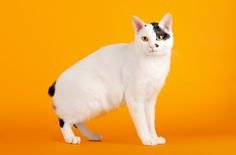 The Japanese Bobtail is a sociable, active breed known for its excellent health. Learn more about this cat breed here: http://www.petguide.com/breeds/cat/japanese-bobtail/