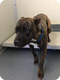 Glen Allen, VA - Pit Bull Terrier Mix. Meet DA 24 a Dog for Adoption.