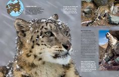 Snow Leopards - National Wildlife Federation
