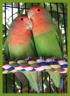 peach-faced lovebirds xx