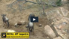 How does blue wildebeest establish dominance? Watch the video and find out! #leopardtv #shayamanzi #nature