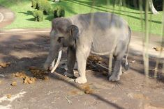 Sign this petition for justice for elephants chained up, covered in their own urine and feces, and prodded with bullhooks to give elephant rides to tourists. Elephant Park, Elephant Ride, Little Elephant, Baby Elephant, Majestic Animals, Animals Beautiful, Park Lodge, Dangerous Animals, Animaux