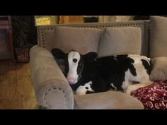 Who says a cow would not appreciate your couch if you gave them the opportunity… this calf for sure doesn't think anything is strange about living in the house like a dog ;)