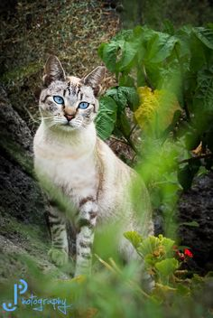 Kitty Blue Eyes by Jos� Pope on 500px