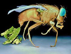 Fêmea de mosca da família Calliphoridae fazendo postura de ovos. Imagem incrível!!