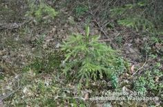 Photography: 148• Free photo • Christmas tree • Nature
