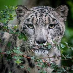 "Snow Leopard ""Penny"" (Panthera uncia) at the San Diego Zoo. Photo by Craig Chaddock"