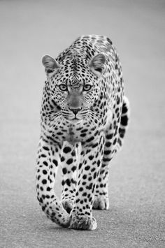 (via Loping Leopard by Rob T Smith / 500px)