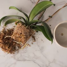 House Plants 56787645291877329 - Your orchid is outgrowing its tiny pot. Do you need soil of some sort? Does the plant need to be trimmed? We'll break down how to repot an orchid for its healthiest life. Source by bhg Orchids In Water, Indoor Orchids, Orchids Garden, Garden Plants, Indoor Plants, Indoor Herbs, Garden Hose, Herb Garden, Potted Plants