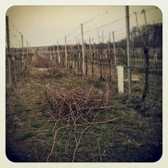 zimní řez 2014 dokončen! / winter cut 2014 passed! - vinohrad Tasovice / vineyard Tasovice