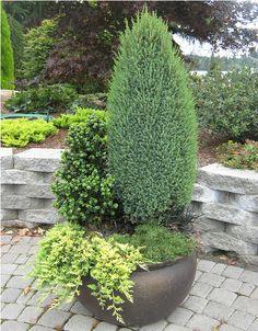 In this container, Juniperus communis 'Compressa' (upright) , dwarf Mugo pine and Juniperus horizontalis ' Mother Lode'.