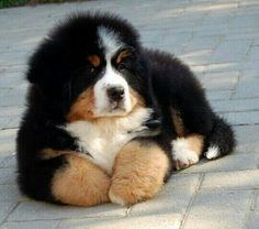 Wintery Swiss Bernese Mountain pup.