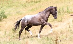 Appaloosa stallion stock by xxMysteryStockxx.deviantart.com on @DeviantArt