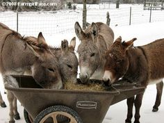 Farmgirl Fare: Farm Photo 3/2/08:How Do Donkeys Order Lunch?