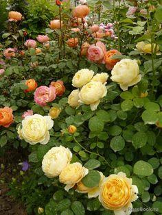 Rosas David Austin, David Austin Rosen, Beautiful Roses, Beautiful Gardens, Simply Beautiful, Beautiful Places, Coming Up Roses, Yellow Roses, Pink Roses
