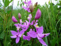 Calopogon tuberosus ~ Grass Pink Orchid
