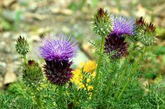 Flores silvestre