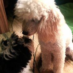 Zwergpudel Kiera So, noch ein Gute-Nacht-Kuss und dann geht´s ab ins Körbchen… ☀ ☾ ★ #Hund: Kiera / Rasse: #Zwergpudel      Mehr Fotos: https://magazin.dogs-2-love.com/foto/zwergpudel-kiera/ Foto, Hund, schlafen