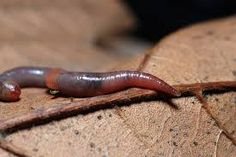 Slow worms react quickly to climate change - http://scienceblog.com/483902/slow-worms-react-quickly-climate-change/