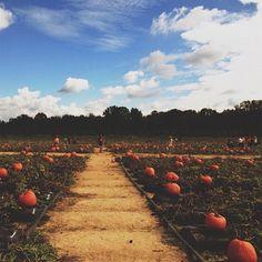Pumpkins at Washington Farms.