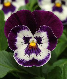 Pansy, Panola Purple Face ~ Burpee's