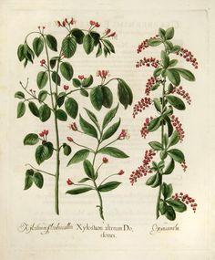 Resultado de imagen para pintura botanica de Hortus Eystettensis