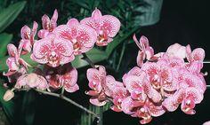 Phalaenopsis Yu Pin | Phal. Yu Pin Burgundy