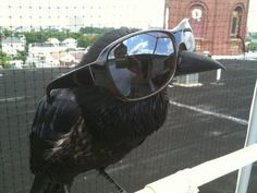 Raven with sunglasses