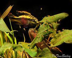 Pelvicachromis Kribensis Cichlid, Family photo