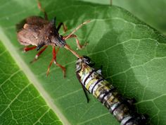 Coexistence Of Plant And Insect Species A Predatory Stink Bug Pentatomidae Feeds On Monarch Caterpillar While Milkweed