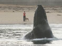 Humpback whale surprises dog on beach - GrindTV.com  Whales coming amazing close to the beach in Monterey.