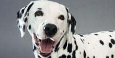 Fotos de cachorros da raça Dálmata.  http://www.melhoramigo.dog/fotos-de-dalmatas/  #cachorros #pets #dogs #puppy #caes #dalmata
