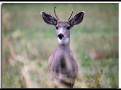 October-November 2015.. Deer are migrating now. This informational video is from Oregon DOT ~YouTube