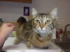 Meet Kelly, an adoptable Domestic Short Hair looking for a forever home. If you're looking for a new pet to adopt or want information on how to get involved with adoptable pets, Petfinder.com is a great resource.