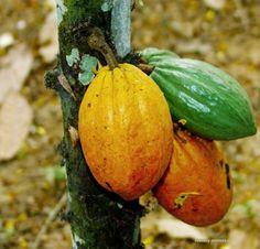 Kakaovník :P