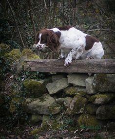 Springer Spaniel Training | Indago Dog Photography