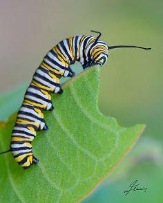 Monarch caterpillar. Photo by DigitallyStill, via RedBubble.