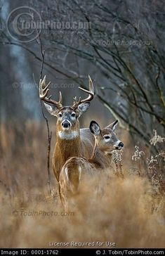 A rutting whitetail buck and a doe stand alert at the edge of an old field.   © TobinPhoto.com