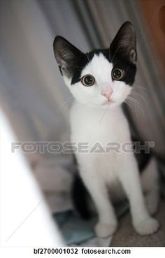 """""""An adorable black-and-white calico kitten"""" - Cat stock photos available on Fotosearch.com"""