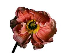 View Iceland Poppy Papaver nudicaule A by Irving Penn on artnet. Browse upcoming and past auction lots by Irving Penn. Still Life Photography, Fine Art Photography, Poppy Photography, Photography Ideas, Irving Penn Flowers, Magnified Images, Still Life Flowers, Still Life Photos, No Rain