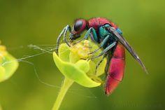 Coppery cuckoo wasp | Flickr: Intercambio de fotos