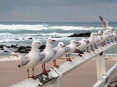Seagulls at Nobby's Beach, Newcastle, Australia