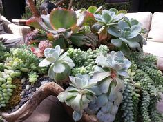 Table top succulent garden of grand proportions