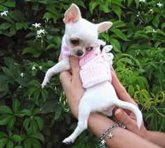 Sweater Chihuahua WARMS HEART Puppy or Small dogs by nerina52, $29.00