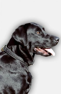 If your Labrador did not learn well how to behave and training still can not correct this you can enhance the impact of training with this choke collar!