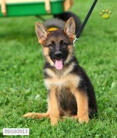 German Shepherd Puppy for Sale #germanshepherd