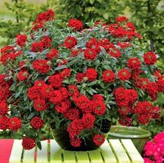Verbena 'Estrella Voodoo Red' is a powerhouse in the garden. Beautiful in a garden bed or trailing out a container or hanging basket, it blooms throu Amazing Flowers, Red Flowers, Beautiful Flowers, Garden Planters, Garden Beds, Container Plants, Container Gardening, Verbena Plant, Annual Flowers