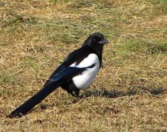 "Eurasian magpie or common magpie (Pica pica) is a resident breeding bird throughout Europe, much of Asia and NW Africa. It's one of several birds in the crow family designated magpies, & belongs to the Holarctic radiation of ""monochrome"" magpies. In Europe, ""magpie"" is used as a synonym for the European magpie: the only other magpie in Europe is the Iberian magpie, which is limited to the Iberian peninsula. It's one of the most intelligent birds."