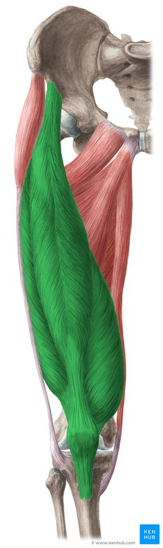 This article describes the anatomy and function of the quadriceps femoris muscle, including clinical aspects. Learn this topic now at Kenhub!